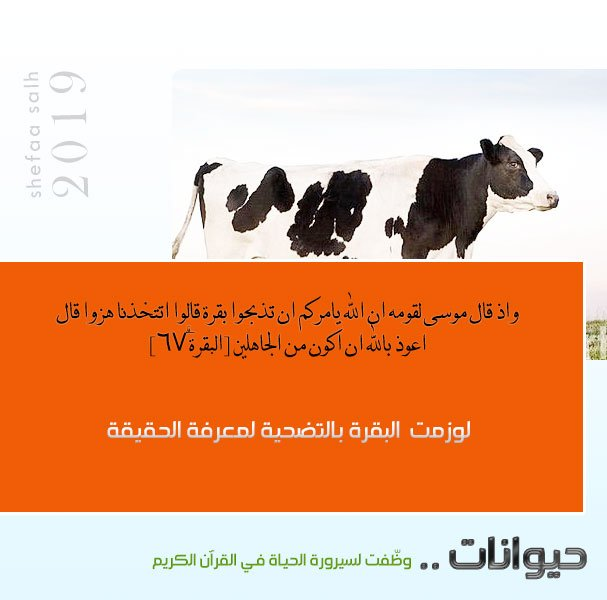 البقرة.jpg