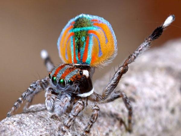 عناكِب الطّاؤوس بديع صُنع الخالق