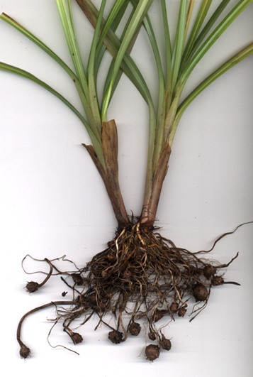 نبات السعد post-29065-1205405207.jpg