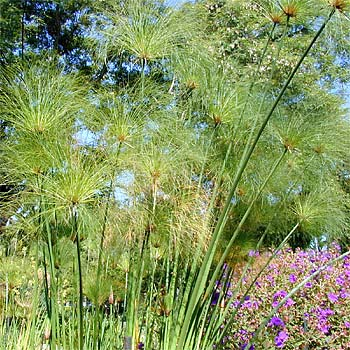 Cyperus_papyrus_Mexico1.jpg