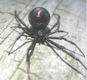 Black_widow_ant_dorsal_1370.jpg